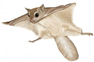 flying-squirrel-encyclopedia-britannica